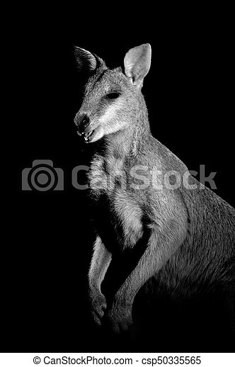 ágil, wallaby - csp50335565