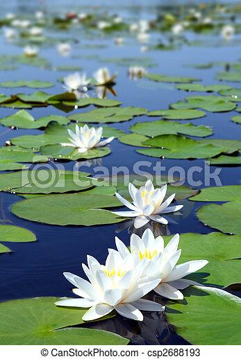 água-lírio, verão, flores, lago - csp2688193