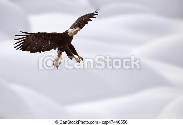 Águila Calva Columbia Británica en vuelo - csp47440556