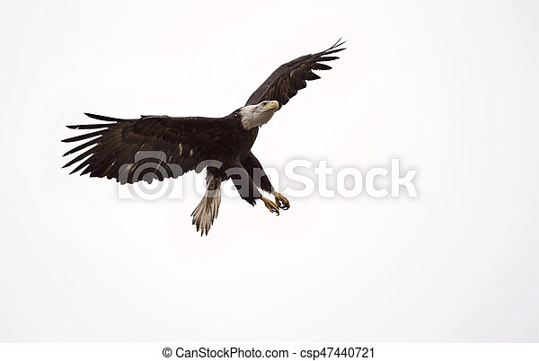 Águila Calva Columbia Británica en vuelo - csp47440721