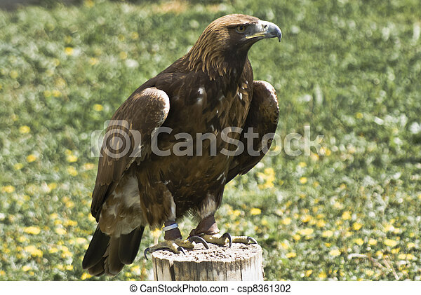 Eagle - csp8361302