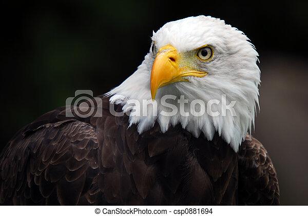águila, norteamericano, calvo, (haliaeetus, leucocephalus) - csp0881694