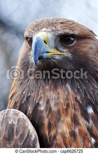 Aguila dorada - csp6626725