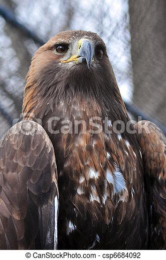 Aguila dorada - csp6684092