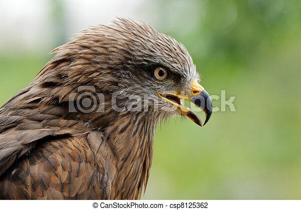 Aguila dorada - csp8125362