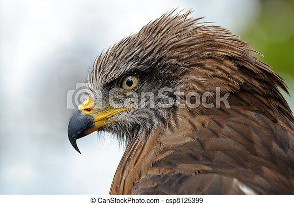 Aguila dorada - csp8125399