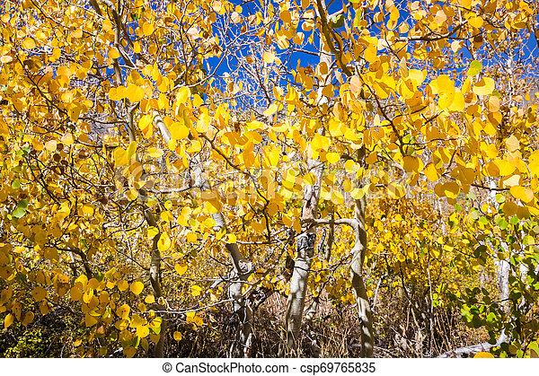 El follaje de árboles de Aspen en un día soleado de otoño, montañas de Sierra Este, California - csp69765835
