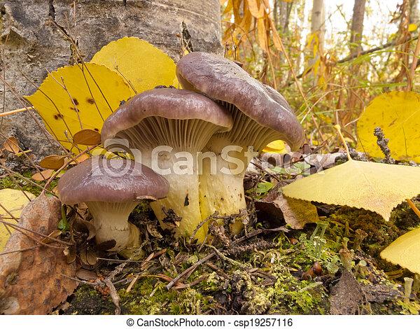 Las hojas amarillas de Aspen amarillas de Spike - csp19257116