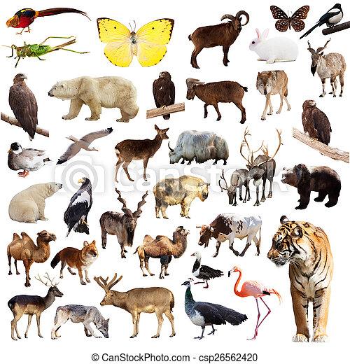állhatatos, állatok, ázsiai - csp26562420