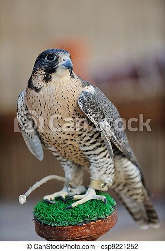 Árabe falcão pássaro predador afiado falcão árabe pássaro visão