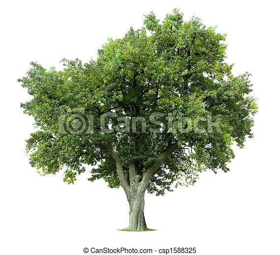 Árbol de manzana aislado - csp1588325