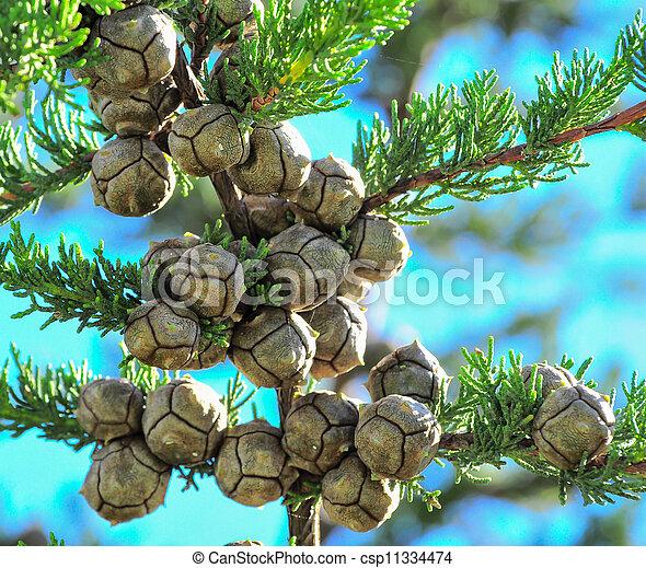 árbol del ciprés, conos, pino - csp11334474