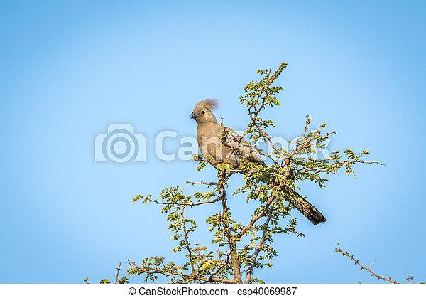 Gris go-away-bird en un árbol. - csp40069987