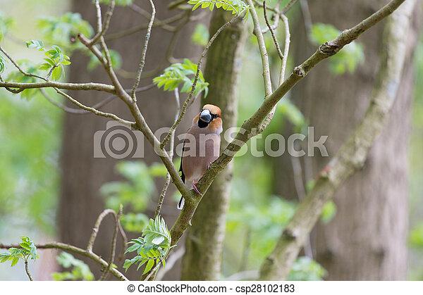 Hawfinch en el árbol - csp28102183