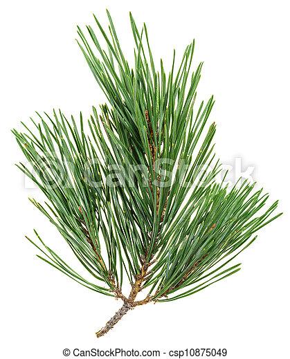 Rbol hoja perenne aislado pino primer plano blanco for Ver fotos de arboles de hoja perenne