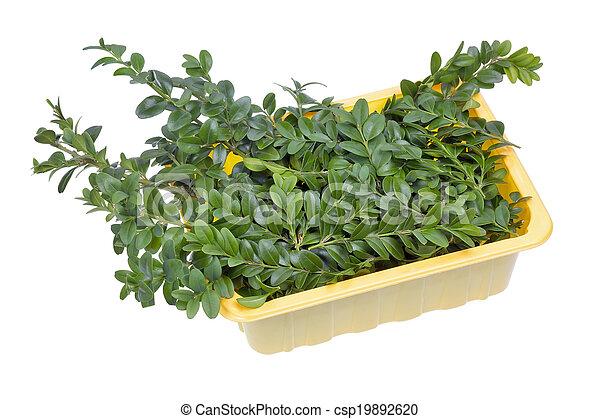 Rbol hoja perenne planta boj ramas rbol hoja perenne for Ver fotos de arboles de hoja perenne