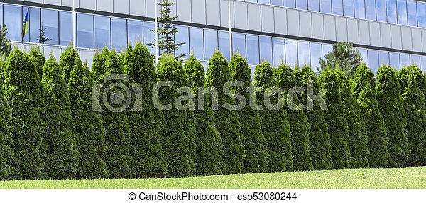 Rbol hoja perenne plantas cerca fragmento thuja for Ver fotos de arboles de hoja perenne