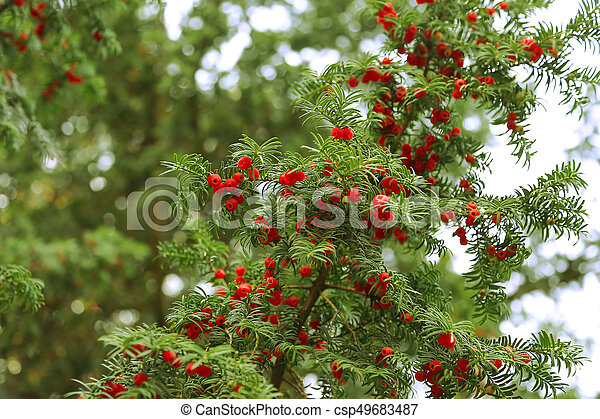 árbol hoja perenne, ramas, árbol, tejo, crecer, bayas, rojo - csp49683487