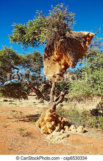 Árbol con gran nido de aves tejedoras colonia - csp6530334