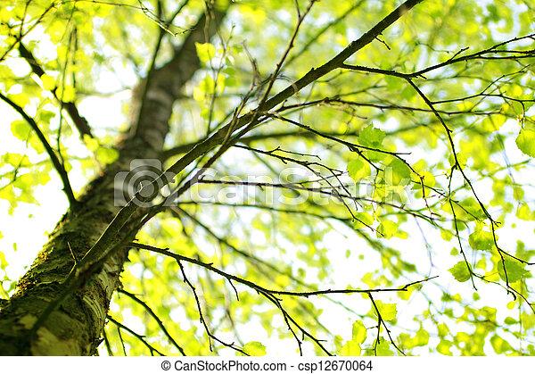 árbol, primavera, rama, abedul - csp12670064