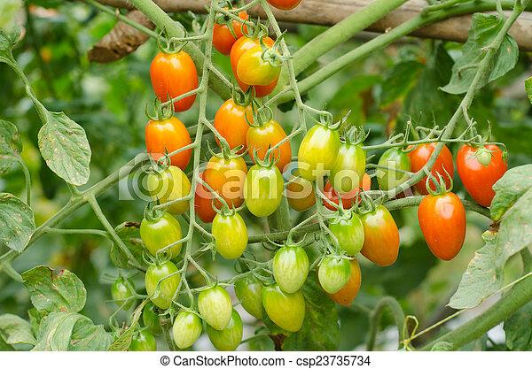Tomates colgando de un árbol - csp23735734