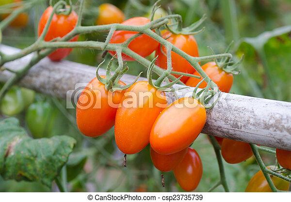 Tomates colgando de un árbol - csp23735739