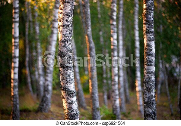 árboles, abedul - csp6921564