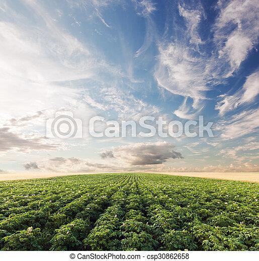 área, agricultura, papa, cosecha de la granja, campo, cultivado, sunset. - csp30862658