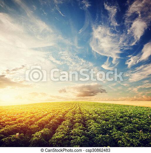 área, agricultura, papa, cosecha de la granja, campo, cultivado, sunset. - csp30862483