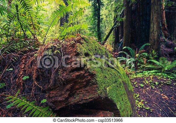 árvore caída, redwood - csp33513966
