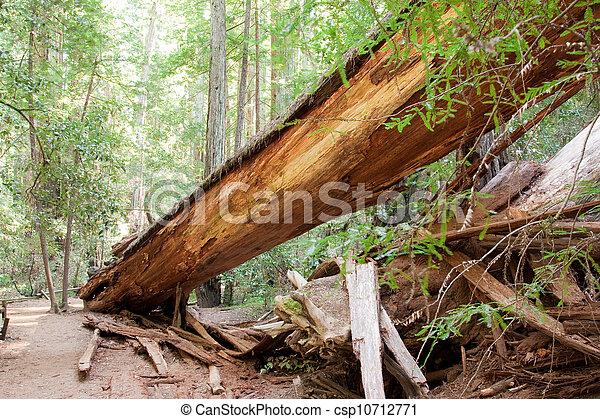 árvore caída, redwood - csp10712771