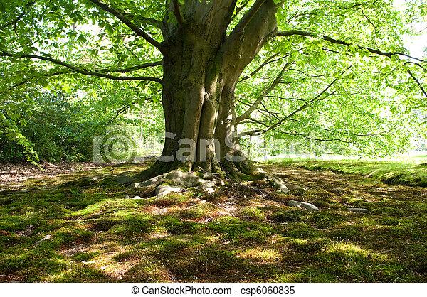 árvore faia - csp6060835