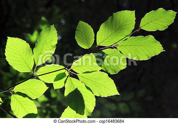 árvore faia - csp16483684
