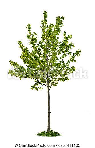 árvore, isolado, maple, jovem - csp4411105