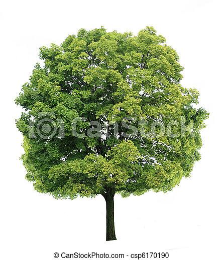 árvore, maple - csp6170190