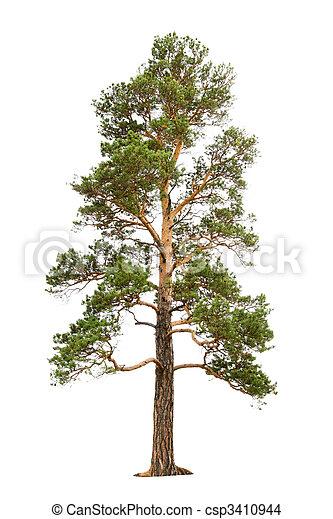 árvore, pinho - csp3410944