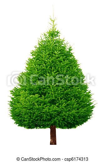 árvore, pinho - csp6174313