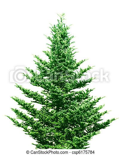 árvore, pinho - csp6175784