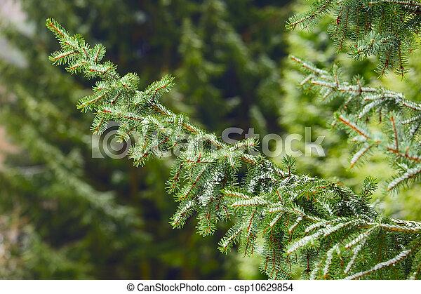 árvore spruce - csp10629854