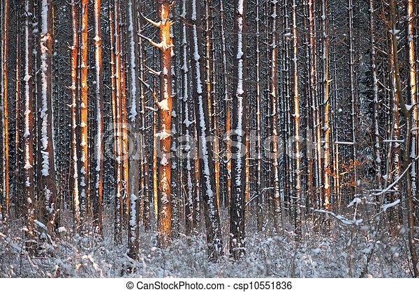 árvores inverno, pinho - csp10551836