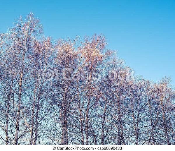 árvores inverno, vidoeiro - csp60890433