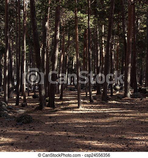 árvores pinho - csp24556356