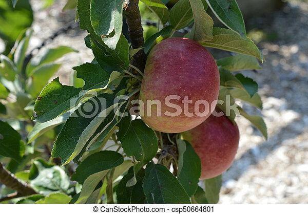 äpple - csp50664801