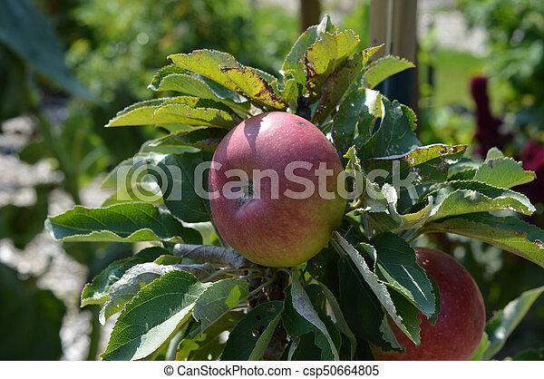 äpple - csp50664805