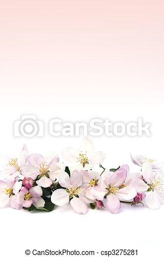 äpple, blomstringar - csp3275281