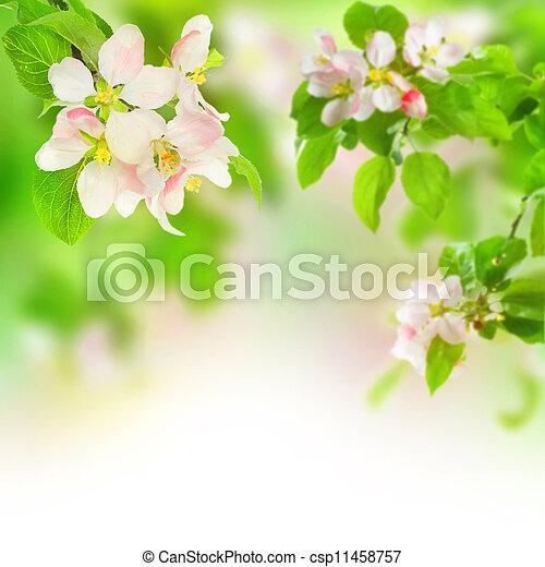äpple, blomstringar - csp11458757