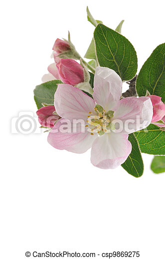 äpple, blossoms. - csp9869275