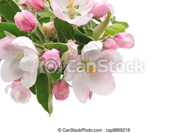 äpple, blossoms. - csp9869219