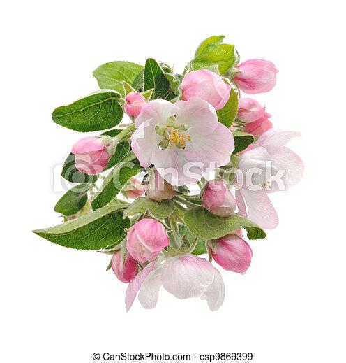äpple, blossoms. - csp9869399