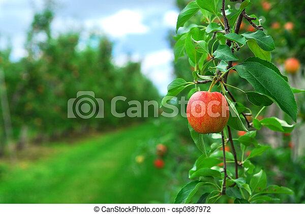 äpple fruktträdgård - csp0887972